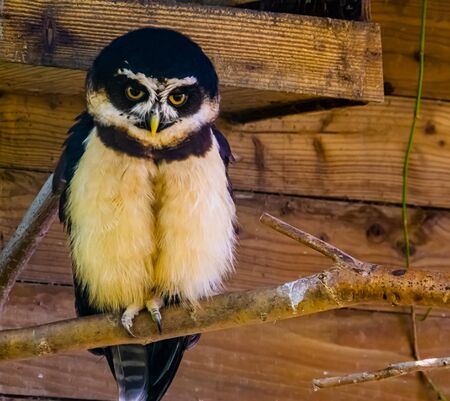 closeup portrait of a brown wood owl, tropical bird specie form Asia