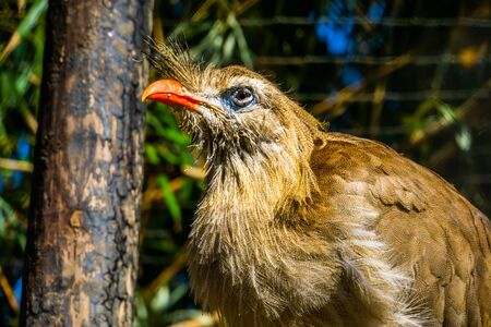 closeup portrait of a crested cariama, beautiful tropical bird specie from the amazon of brazil Stok Fotoğraf