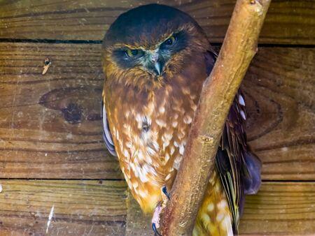 portrait of a tasmanian spotted owl, tropical bird specie from Australia and new Zealand Reklamní fotografie