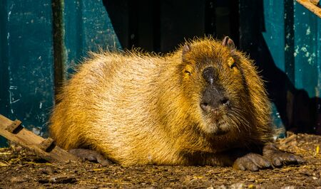 closeup portrait of a capybara, worlds largest rodent specie, tropical cavy from South America