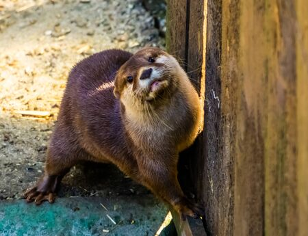 cute closeup portrait of a small asian otter, tropical animal specie from Asia