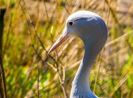 the face of a blue paradise crane in closeup, Vulnerable bird specie from Africa