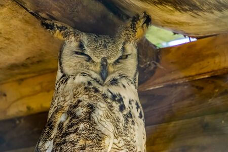 closeup portrait of great horned owl, bird specie from canada and america Reklamní fotografie