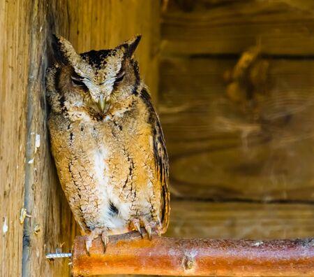 closeup portrait of a indian scops owl, tropical bird specie from south Asia Reklamní fotografie