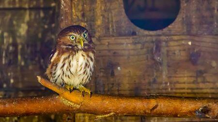 closeup portrait of a boreal owl, Bird specie from europe Reklamní fotografie