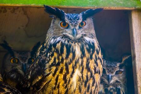 beautiful closeup portrait of a eurasian eagle owl, popular bird specie form Eurasia Reklamní fotografie