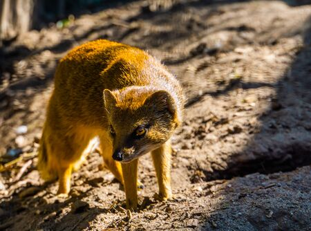 closeup portrait of a yellow mongoose, also known as the red meerkat, tropical animal specie from Africa Reklamní fotografie - 149536404