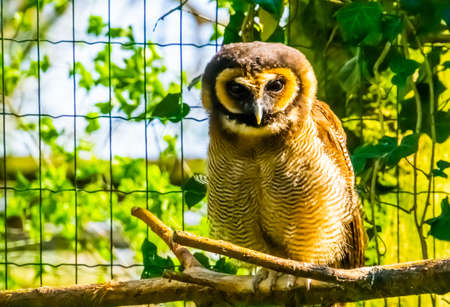 closeup portrait of a brown wood owl sitting on a branch, tropical bird specie form Asia Reklamní fotografie - 151067484