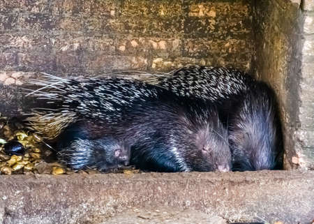 family portrait of a crested porcupine couple with a juvenile, tropical animal specie from Africa Reklamní fotografie - 151067485