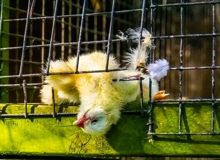 closeup of a death chick, carnivorous bird feeding Reklamní fotografie