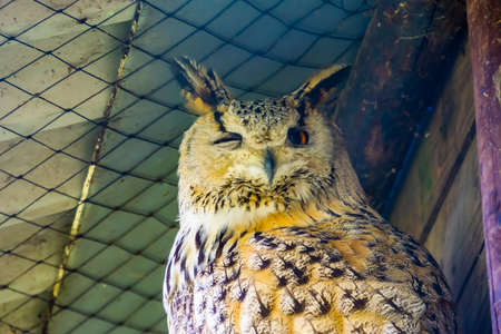 closeup of the face of a siberian eagle owl, popular owl specie from Siberia 版權商用圖片