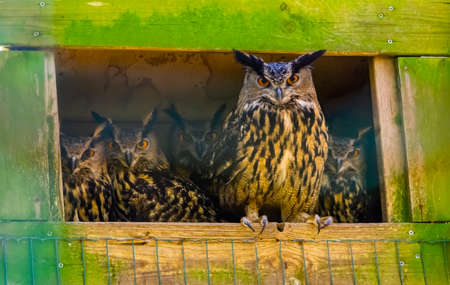 family of eurasian eagle owls together, popular bird specie form Eurasia
