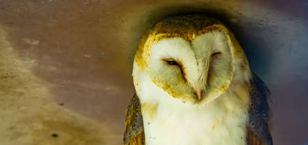 closeup of the face of a common barn owl, bird specie from the Netherlands 版權商用圖片