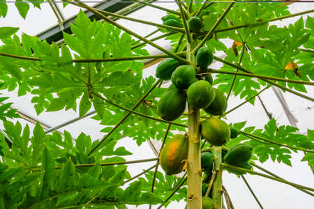 closeup of the tree trunk of a papaya plant bearing fruits, tropical fruiting plant specie from America 版權商用圖片