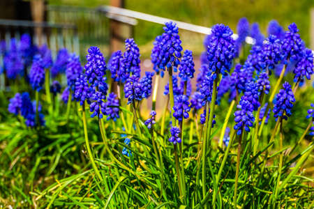 closeup of a blue grape hyacinth in bloom, popular ornamental plant specie from Europe