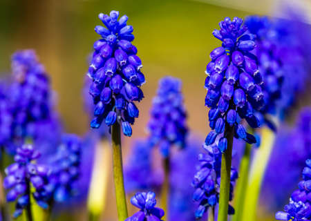beautiful closeup of the flowers of a grape hyacinth, popular ornamental plant specie from Europe