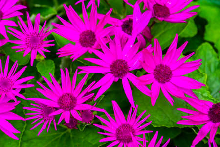 beautiful closeup of purple senetti pericallis flowers, tropical plant specie from the canary islands 版權商用圖片