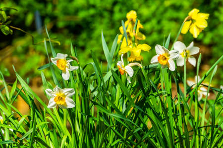 closeup of daffodils in bloom, popular dutch plant specie for the garden