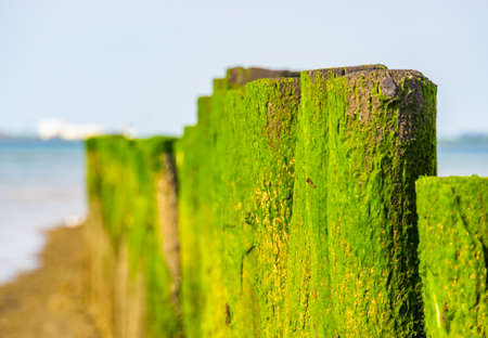 closeup of wooden poles covered in seaweed, Breskens beach, Zeeland, The Netherlands 免版税图像