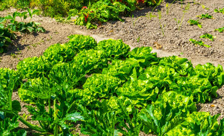 Dutch organic home garden full of lettuce, popular and healthy leafy green plant