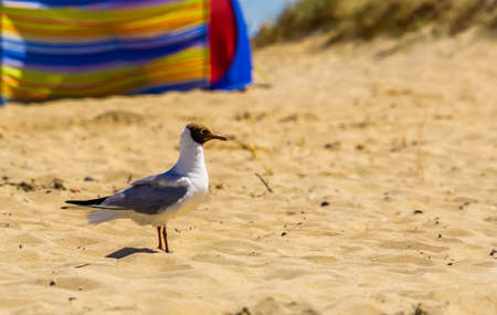 closeup of a black headed seagull with summer plumage at the beach, common european water bird specie 版權商用圖片