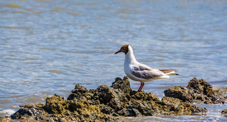 Black headed seagull with summer plumage at the ocean, common european water bird specie