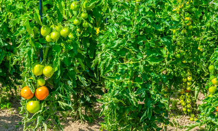 Dutch home garden tomato plantation, organic vegetable plants, gardening and agriculture