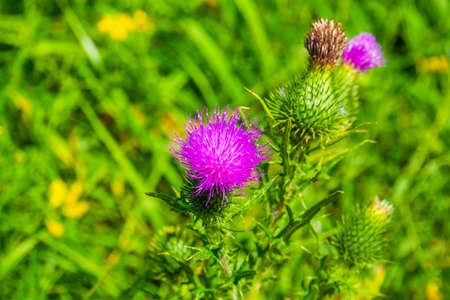 Marsh thistle with the flowers in closeup, common wild plant specie from Eurasia