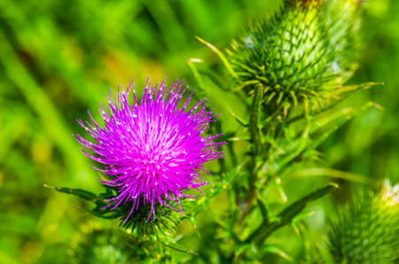 beautiful macro closeup of a purple marsh thistle, common wild plant specie from Eurasia