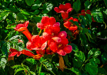 beautiful close up of the flowers of a trumpet vine, popular exotic ornamental plant specie from America