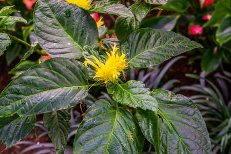 golden plume plant with leaves in close up, flower in bloom, tropical ornamental plant specie from Brazil Zdjęcie Seryjne