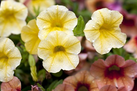 Yellow calibrachoa flowers covered in water drops after a rainfall.