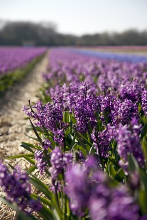 Hyacinths growing in field in Holland.