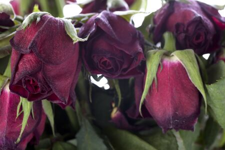 wilting: Bouquet of wilting red roses.