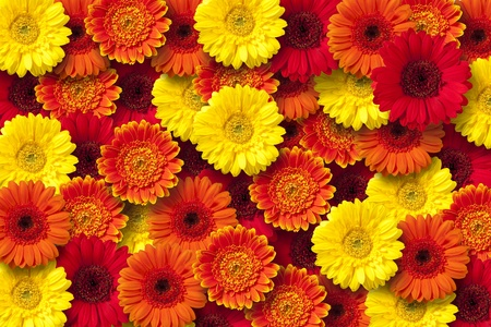 Red, orange and yellow daisy floral background. Stock Photo
