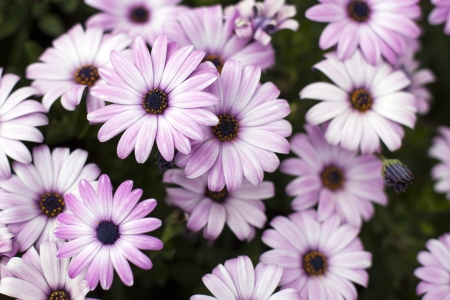 Group of vibrant purple daisies  Stock Photo