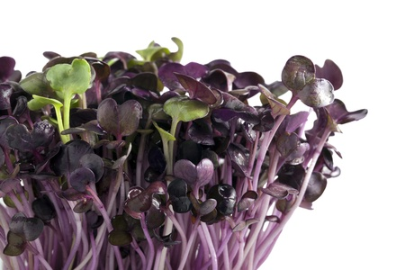 Purple radish sprouts with a couple of green spouts on white background Reklamní fotografie - 14668865