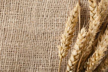 Dried wheat on stalk on burlap background with copy space Stock Photo