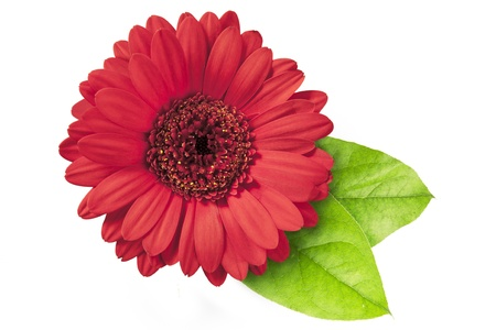 Vibrant red gerberas daisy with green leaves isolated on a white background