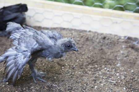 Young silkie chick stretching wings in pen.