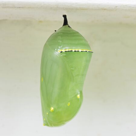 Close up of recently from monarch chrysalis.