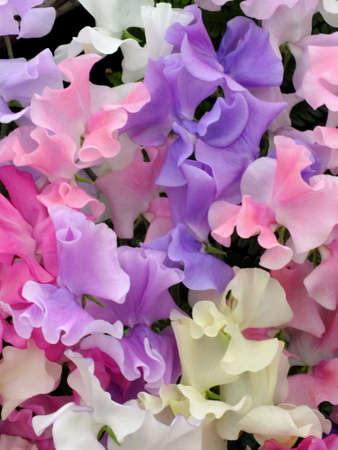 sweet pea flower: Sweet peas Stock Photo