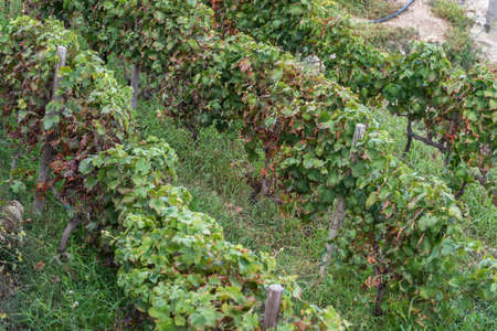 Small Vineyard Grapes trees in a field. Horizontal. above view. Stock Photo