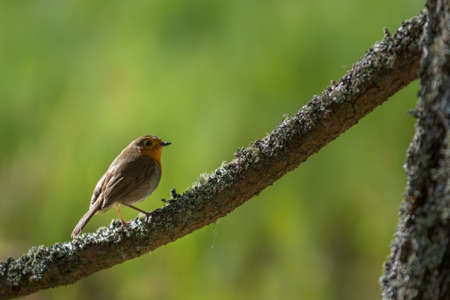 Eurasian Robin small bird sitting on a tree. Robins are associated as a Christmas bird, due to their red colouring. Also recently the Robin has been voted as Britains favourite bird during spring. copy space