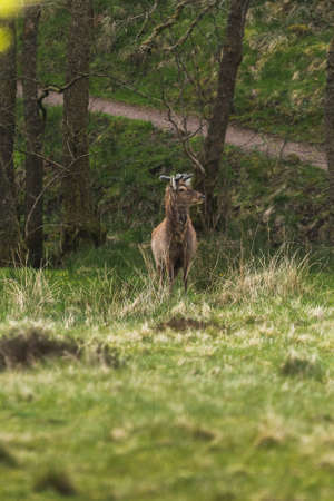Red Wildlife Deer in the woods with green grass surrounding on a spring day in the forest