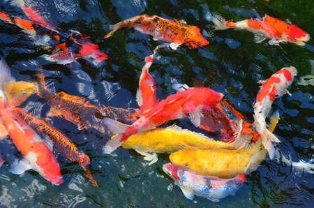 Koi fish Stock Photo - 13235801
