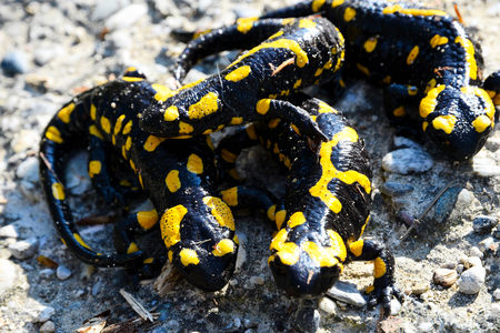 Group of fire salamanders Stock Photo