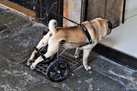 Dog with walker Stock Photo