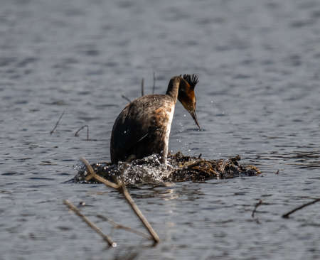 Great crested grebe at nest (Podiceps cristatus)