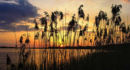 canne: Reeds dawn